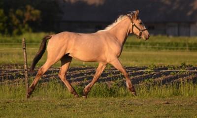 Eesti tõugu hobune Eberon
