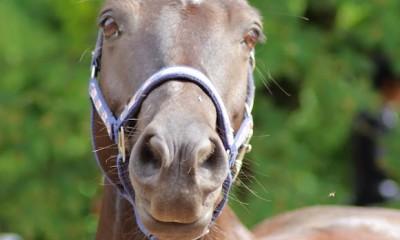 Koolisõidusuunalise hobuse ost